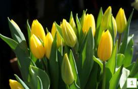 lpgk_tulipany_ciete
